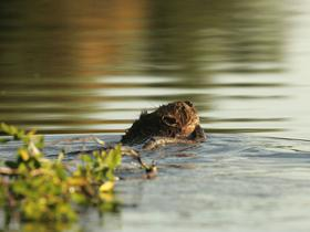Beaver swimming, towing branch