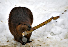 Beaver with branch in mouth