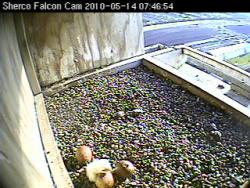 Almost out: We should see two more chicks make their debut appearance any time now.