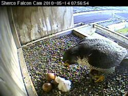Yummy: The first-hatched Sherco chick of 2010 enjoys a little breakfast.
