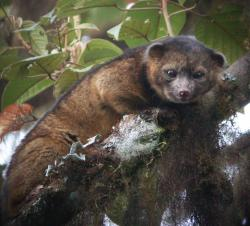 Newly discovered: The olinguito (Bassaricyon neblina) is the first carnivore species to be discovered in the American continents in 35 years.