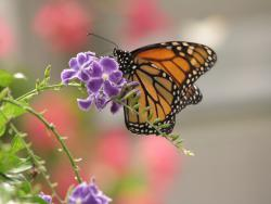 Monarch butterfly: Courtesy Matt Stratton