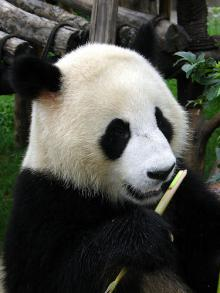 Giant Panda: Courtesy  drs2biz