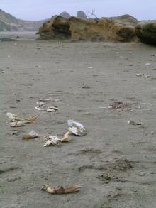 Dead crabs: Dead Dungeness crabs on beach, Oregon Coast (Photo by Jane Lubchenco)