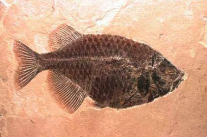 Phareodus fish fossil