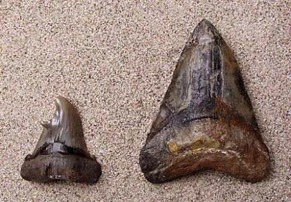 Carcharodon angustidens tooth; Carcharodon megalodon tooth