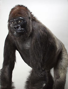 """Don"", a male Western Lowland Gorilla"