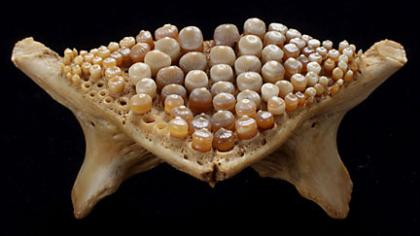 Pharyngeal teeth from a freshwater drum aplodinotus for Freshwater fish with teeth