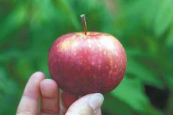 Name needed: The apple variety, currently known at the University of Minnesota Arboretum as MN-447, needs a proper name. What do you think this small, sweet and sometimes cracked apple should be called? Send in your suggestion.