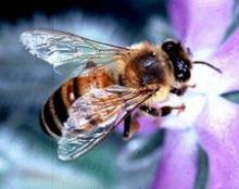 Honeybee: Courtesy Wikipedia