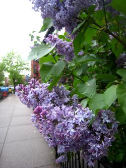 Lilacs: This is what I'm waiting for...any day now...