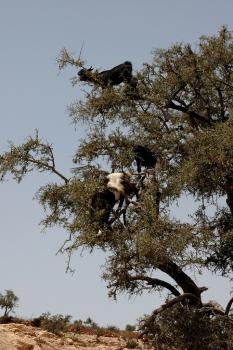Goats in trees.: Image courtesy  Robbie's Photo Art's photos via Flickr's Creative Commons.
