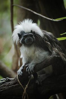 Tamarin: My cage is alive with the sound of muuuusic!