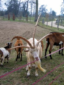 Unusual genetic variations can sometimes cause goats to grow more than the normal two horns.