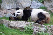 Giant Panda: Courtesy  Jellyrollhamster