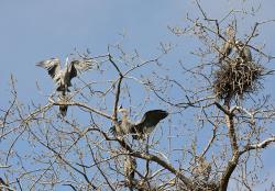 High-rise homes: A great blue heron rookery like this one was almost completely wiped out by Sunday's tornado in Minneapolils