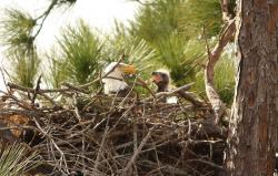 New on the block: Seven new bald eagle nest sites have been spotted this spring along the Mississippi River Recreation Area stretching through the Twin Cities.