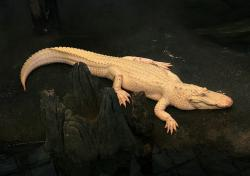 An albino alligator: Imagine how creamy and awesome its fat would be!