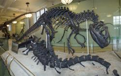 Former denizens of Como Bluff: The American Museum of Natural History's iconic Allosaurus displayed in its fantastic pose over the remains of an Apatosaurus. Both specimens were collected at Como Bluff, the Allosaurus in 1879 by F. F. Hubbell (for E. D. Cope) and the Apatosaurus in 1897 by an AMNH field crew.