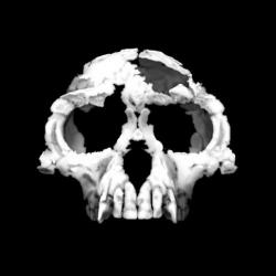 Ardipithecus ramidus skull recreation: a composite image of Ardi's skull recreated with imaging technology