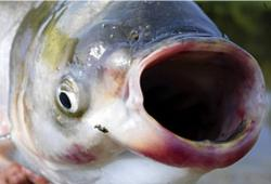 MN Most Wanted: Asian carp, aquatic invasive species