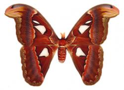 Atlas moth: photo by Gregory Phillips