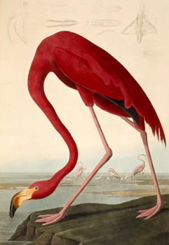 Flamingo: plate from BIRDS OF AMERICA