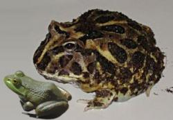 Huge frog: Fossilized remains have been found in Madagascar of the Devil Toad, a bowling-ball-sized frog that was likely capable of eating small, young dinosaurs.