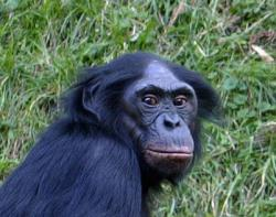 Bonobo: Latin name:  Pan paniscus