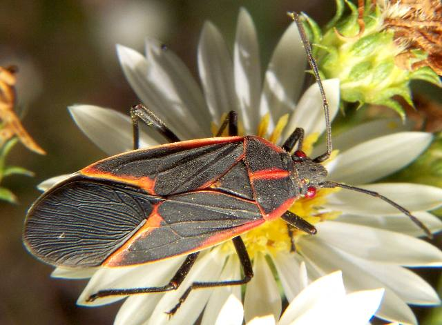 Beware of boxelder bugs | Science Buzz