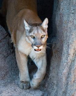 On the loose: There is a mountain lion similar to this roaming around in Wisconsin. Don't let your dog chase it up a tree.