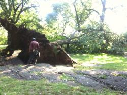 A felled tree in Central Park
