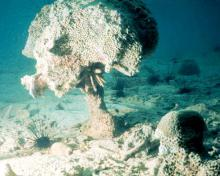 Coral in trouble: photo from NOAA via Wikimedia