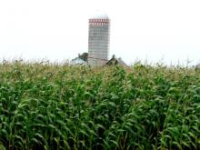 Corn field: Corn is used to produce ethanol fuels, such as E85.  Photo courtesy killermart, Flickr Creative Commons.
