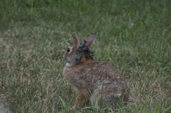 In St. Paul!: A rabbit exhibiting growths resulting from the Shope papillomavirus.