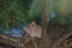 Mourning dove: You can see the messy nest and a chick's head peeking out. (Photo by Ken Kornack)