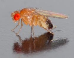 Drosophila melanogaster: the fly.