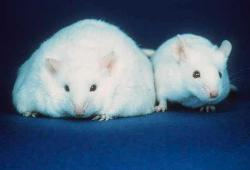 """Diabetes breakthrough: Genetically modified mice, without PKCe, were fed high fat diets and became fat and insulin resistant but failed to develop diabetes. Instead, they produced extra insulin."""""""