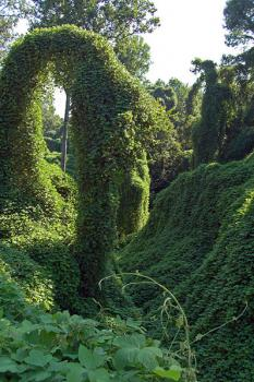 Kudzu: A kudzu infestation of a wooded area near Port Gibson, Mississippi. Note that the kudzu has completely overgrown several of the trees in this picture.