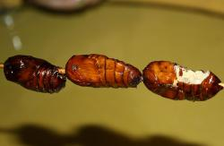Fried insect pupae: You have to admit, they look a little bit delicious, right?