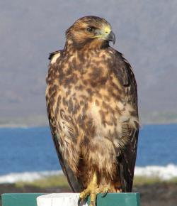 Your Majesty: This is only a juvenile Galapagos Hawk.  Imagine what her mama looks like!