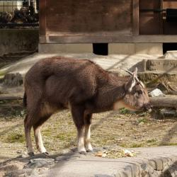 A goral goat: Nice trick, goat, but we saw through it. Feeling a little sheepish now, huh?