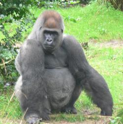 I'll order...: ...the salad please. Gorillas at U.S. zoos are facing an increased risk of heart problems. The cause may be diet related.