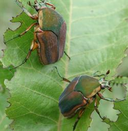 Green June Beetles (before cyber-enhancement)