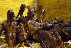 Pelican-stock 2010: A flock of well-oiled pelicans need cleaning after the Gulf oil spill crisis.