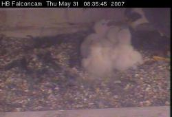 The whole brood: This shot, captured yesterday, shows Athena and all her chicks.