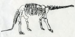 The rest of Haplocanthosaurus: This drawing gives the rest of the shape and size of Haplocanthosaurus.