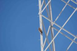 A red tailed hawk keeps an eye on the proceedings: Which, frankly, is ridiculous. What do hawks know about flood management?