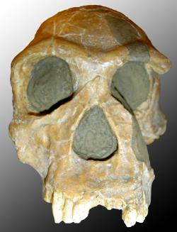 Homo habilis skull: Photo courtesy Wikimedia Commons and licensed under the GNU Free Documentation License and Creative Commons Attribution 2.5.