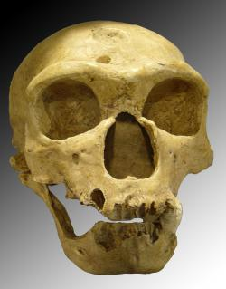 Skull of Homo neanderthalensis: Photo courtesy Wikimedia Commons.
